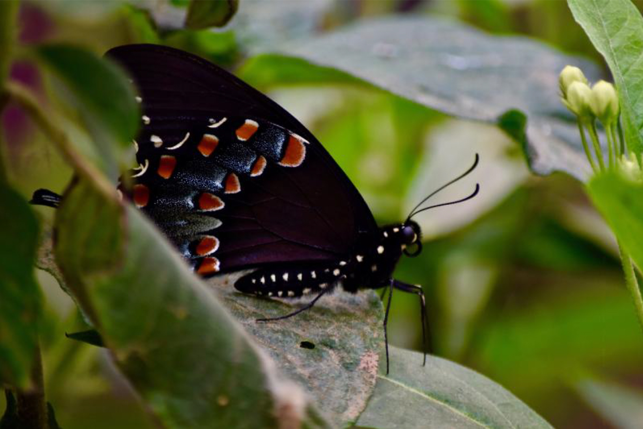 color photograph of a black butterfly with orange-dotted wings perched on a leaf