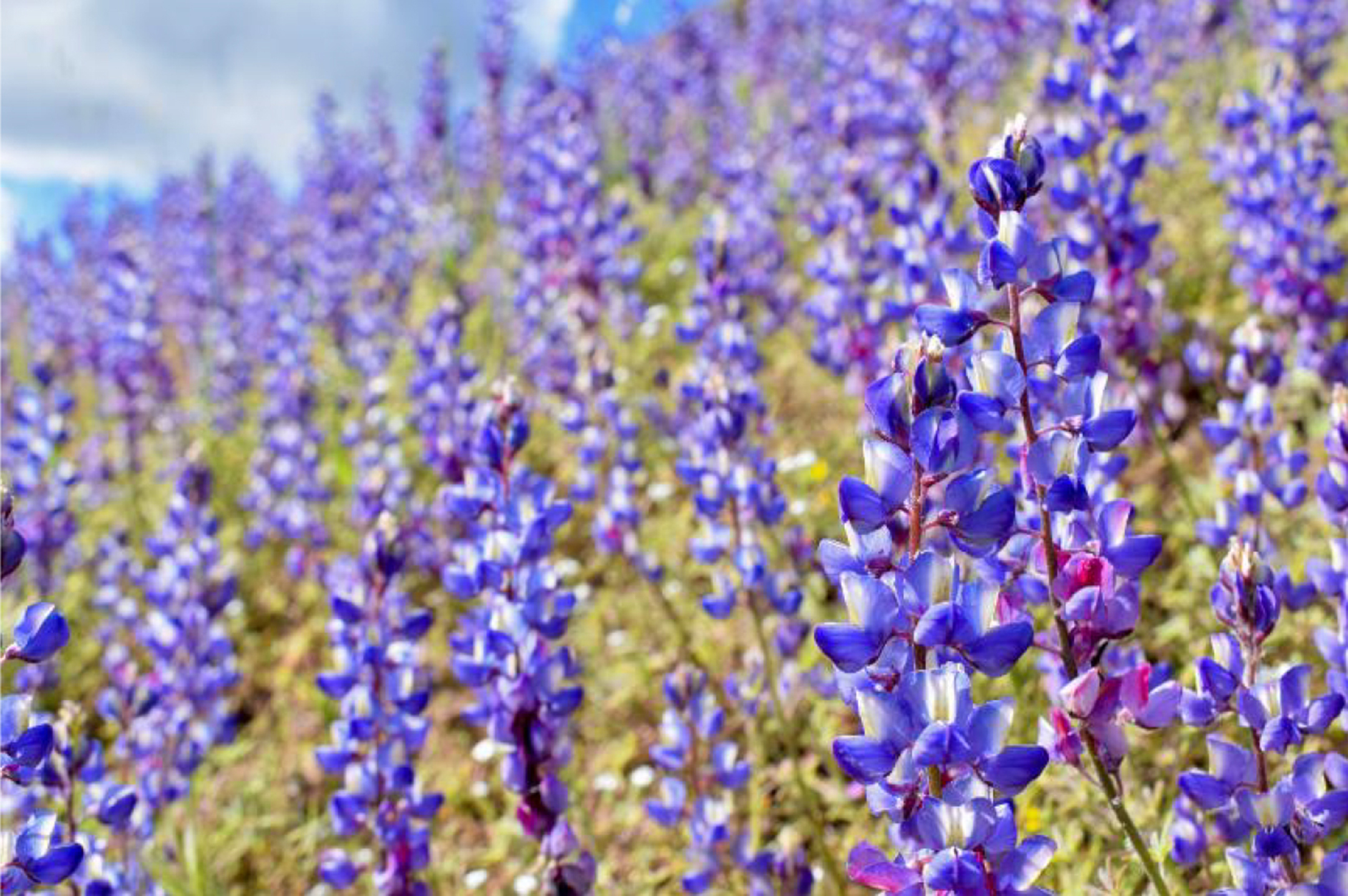 color photograph of a green field fill of blue-purple lupine plants